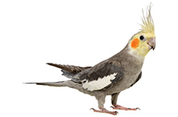 LUTINO COCKATIEL (Nymphicus hollandicus)