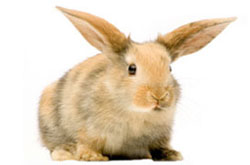 LAPIN NAIN (Oryctolagus cuniculus f. domesticus)