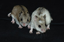 HAMSTER CHINOIS (Cricetulus griseus)